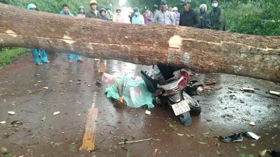 Đổ cây rừng tại Lâm Đồng khiến 2 người thương vong